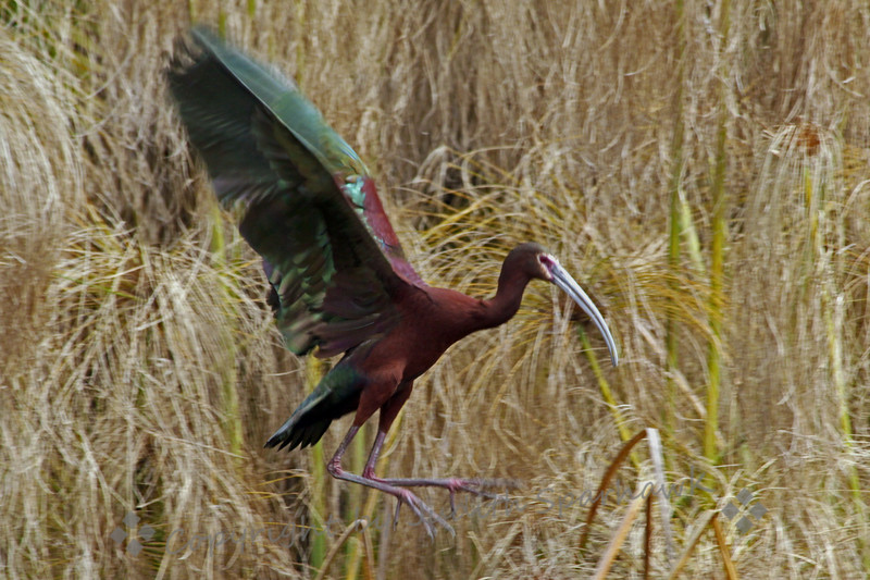 White-faced Ibis ~ This ibis was photographed in the San Diego area.  There were quite a few of them, with lots of activity and probably nesting, although I did not see their actual nests.