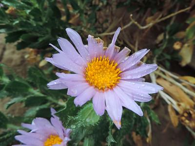 Anza-Borrego Wildflowers 03-24-2016