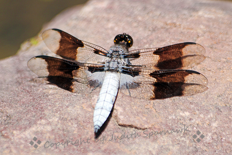 Common Whitetail ~ I revisited the pond I found last year at Cherry Creek State Park in Colorado, to photograph the dragonflies.  This Common Whitetail was probably the most common one this year, returning again and again to the pondside rocks to light and sit in the sun.