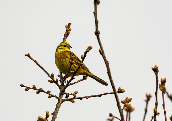 Yellowhammer and Common chiffchaff