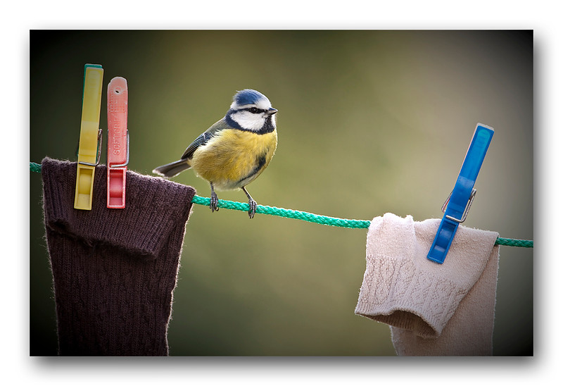 Blue Tit washing line 1.jpg