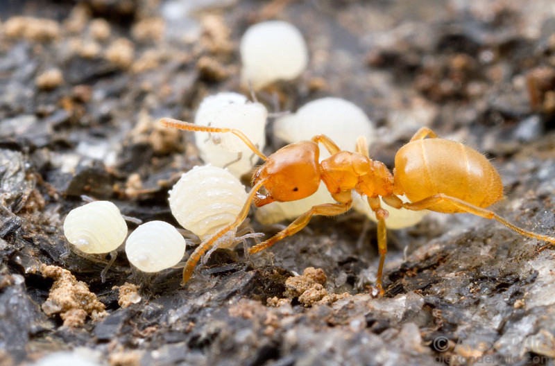 Honeydew from root aphids (Aphidae: Eriosomatinae) is an important part of the diet of the subterranean ant Lasius nearcticus.  South Bristol, New York, USA