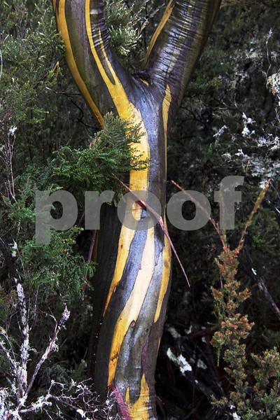 gum green fork tree 1.jpg