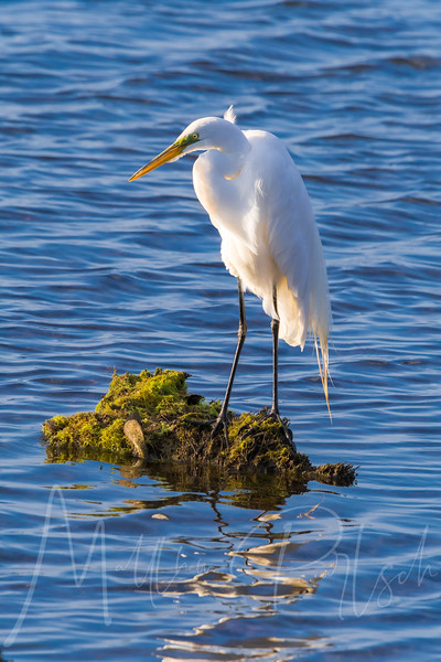 """Snowy Egret"" - Bolsa Chica Wetlands - Huntington Beach, California - United States of America"