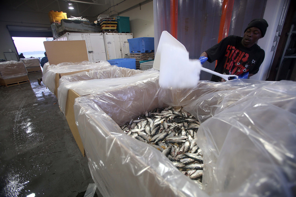 . Herring are packed with ice for shipping at the  San Francisco Community Fishing Association dock on Pier 45 in San Francisco, Calif., on Friday, Feb. 8, 2013.  (Jane Tyska/Staff)