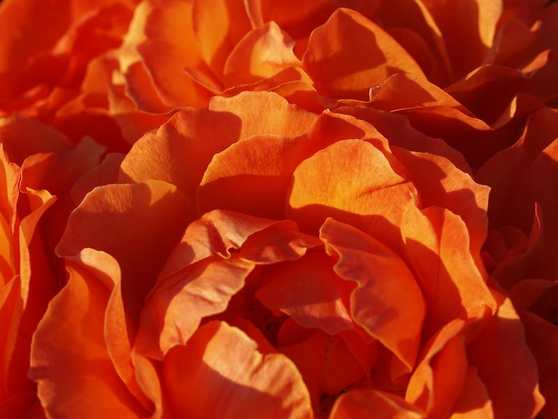 Rose Garden 017.JPG
