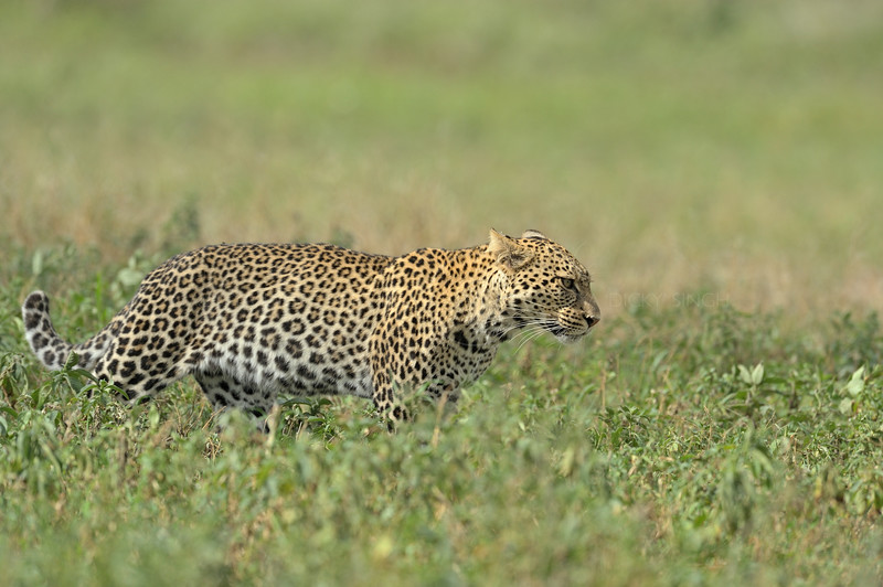 African Leopard (Panthera pardus pardus) in the grasslands of Ndutu in Ngorongoro conservation area in north Tanzania