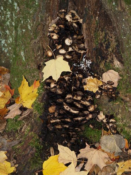 mushrooms on a tree - Edison Woods