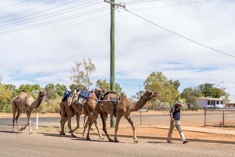 camels in Boulia