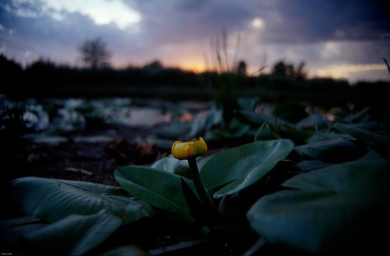 Leknica žltá (Nuphar lutea)