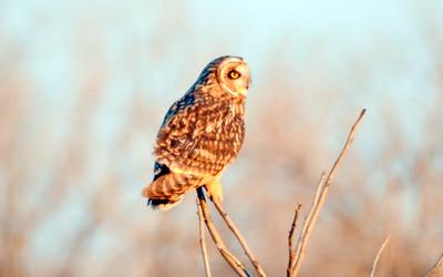 BK Leach_Short Eared Owl