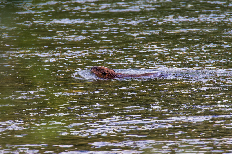 River Otter in the Skagit River
