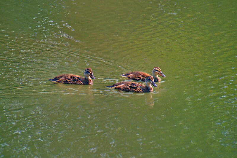 Mallard Chicks, Col.Samuel Smith Park