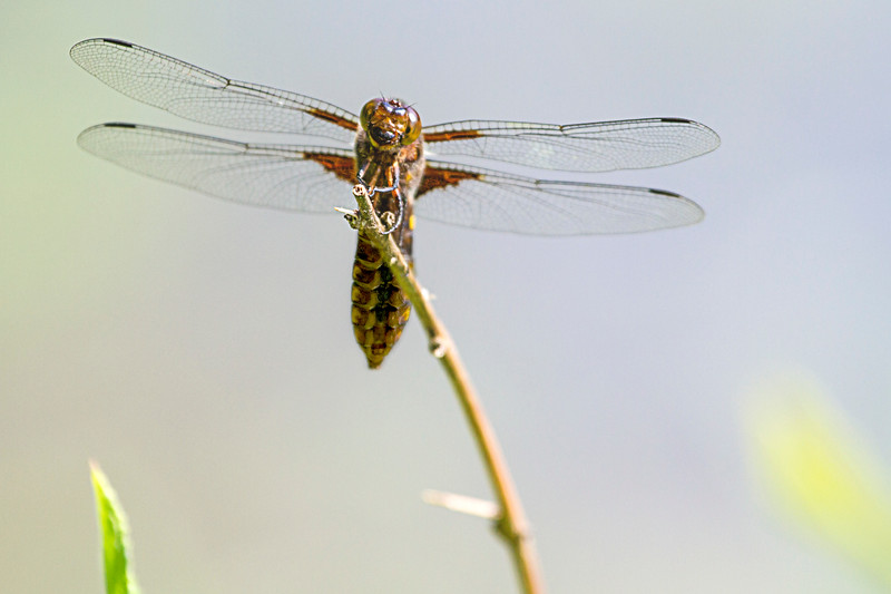 Dragonfly in the Danube Wetlands National Park