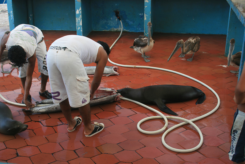 Sea lions & pelicans waiting for fish scraps in Puerto Ayora. Some places have stray dogs, they have sea lions!