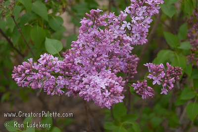 California Rose Lilac - Syringa x hyacinthiflora 'California Rose'