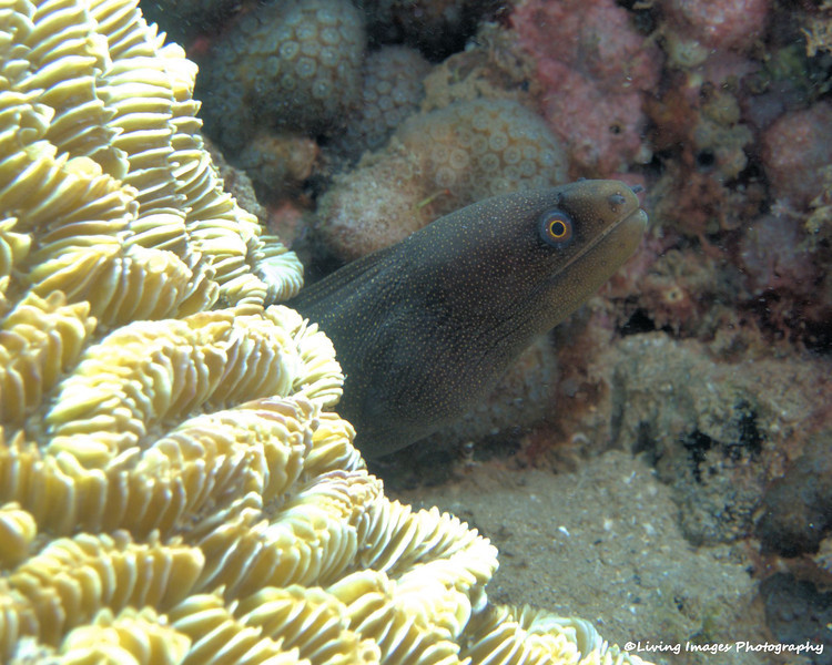 Small goldentail moray