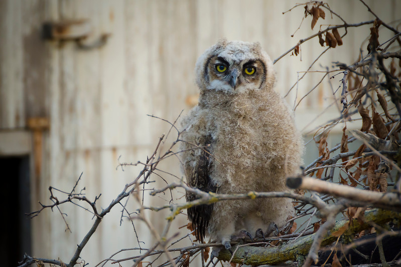 Great Horned Owl (Juvenile)