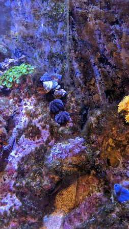 2019-03-07 - Reef Update - New Trochus Snails and Tuxedo Urchins