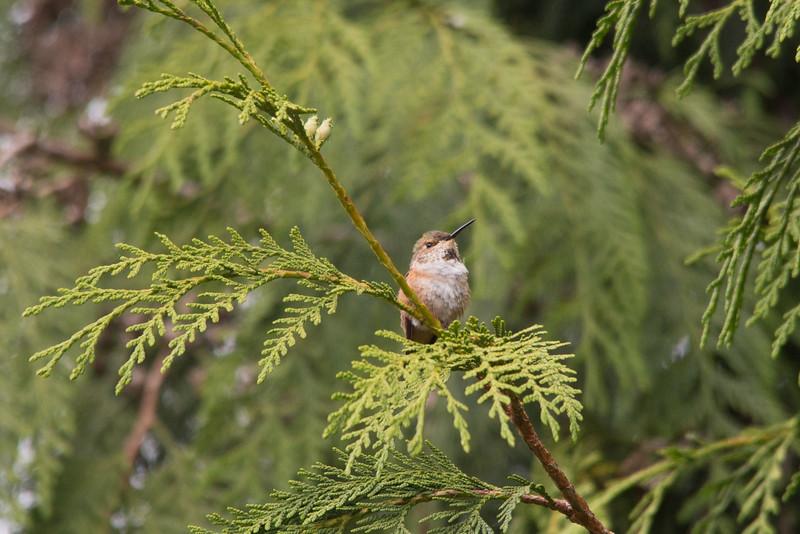 HUMMING BIRDS (16 of 104).jpg