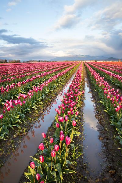 tulips light vert.jpg