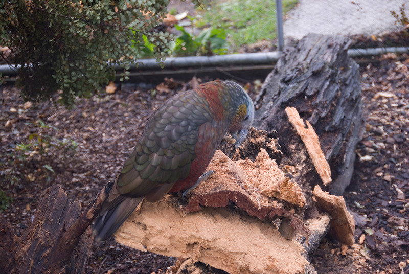 Kea Alpine Parrot