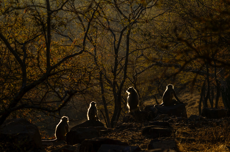 Langur-getting-some-sun-a-morning-Ranthambore-3.jpg