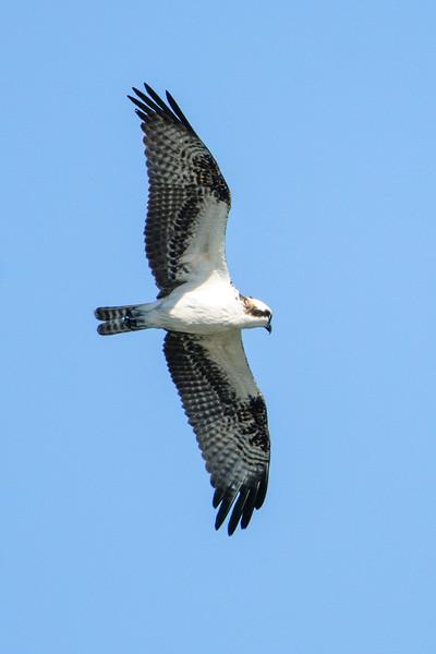 Osprey - Fort Clinch - Amelia Island, FL