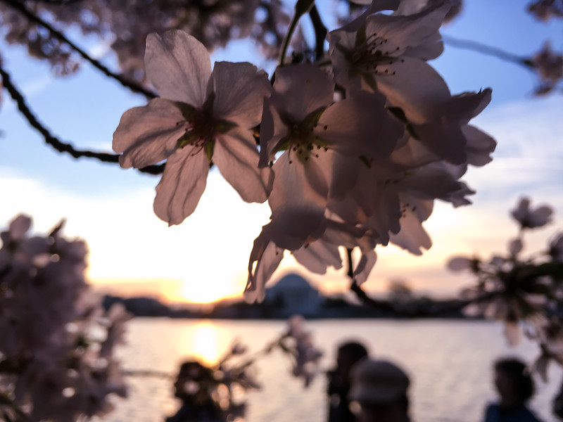 Cherry Blossoms at Sunrise-24.jpg