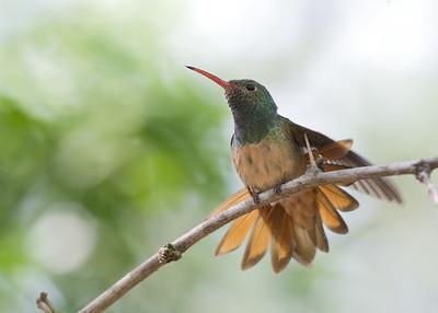 Buffbellied Hummingbird