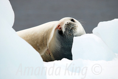 Antarctica - Ice and Wildlife 2010