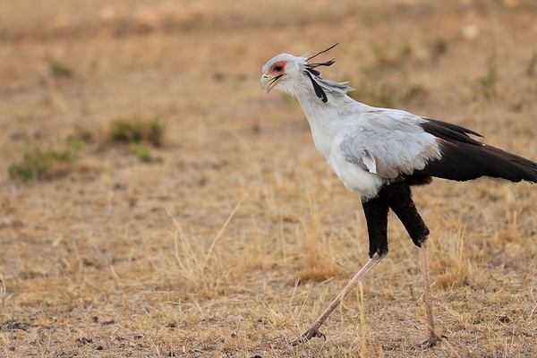 Secretary Bird Mara Reserve Kenya 2017