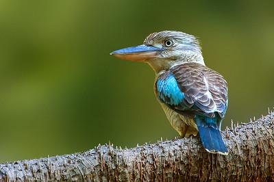Kingfishers, Bee-eaters
