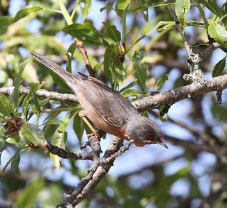 Rusorintakerttu (Sylvia cantillans)