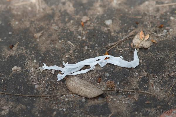 Unknown Geckos