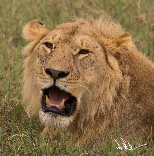 Lions Serengeti - S-14.jpg