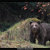 Grizzly in a Grassy Knoll