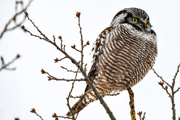 2-1-17 Northern Hawk Owl