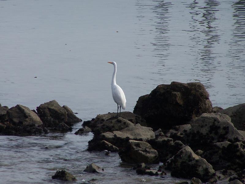 Great Egret at Monterey's Fisherman's Wharf