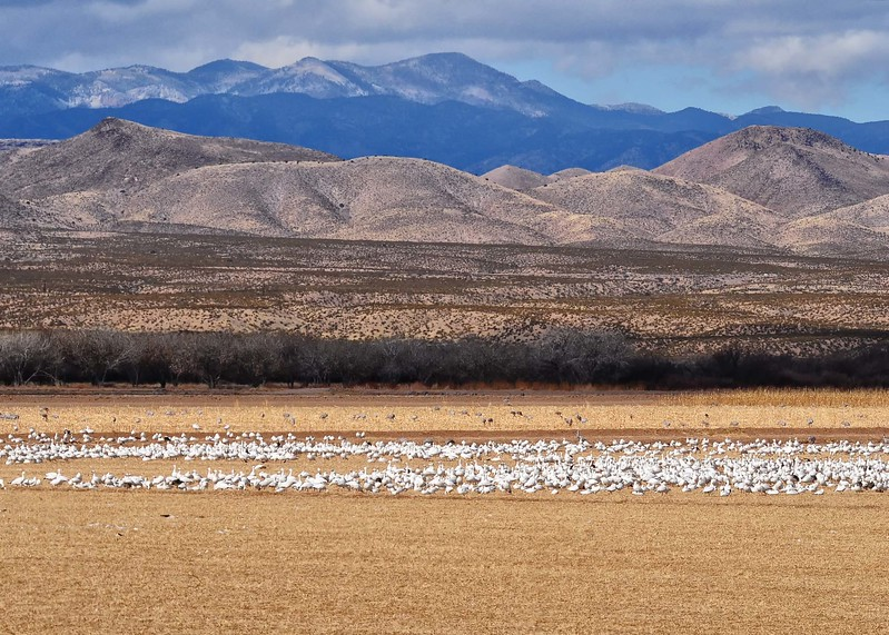 NEA_1163-7x5-Snow Geese and Sand Hills feeding.jpg