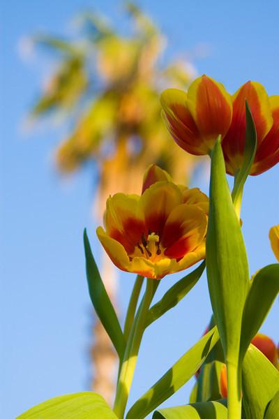 Tulips outdoor_09.jpg