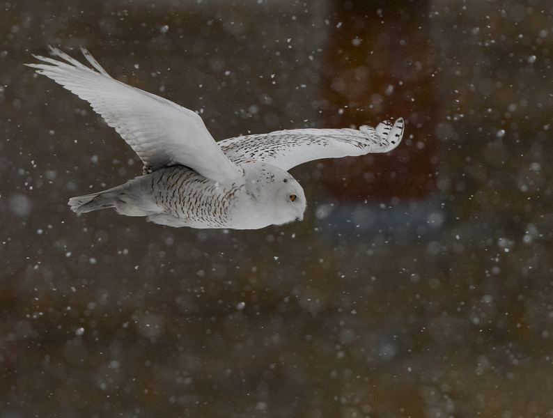DSC_4607-Edit Snowy Owl DB on his way.jpg