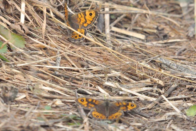 Wall Butterfly Durham - Richard Cowen.JPG