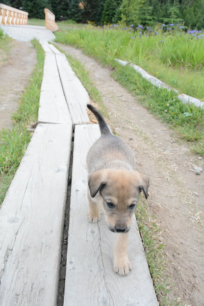 Puppy Boardwalk.JPG