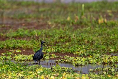 Skyggehegre (Black heron)
