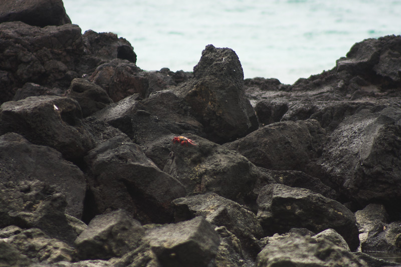Sally Light Foot on the Rocks : Journey into Genovesa Island in the Galapagos Archipelago