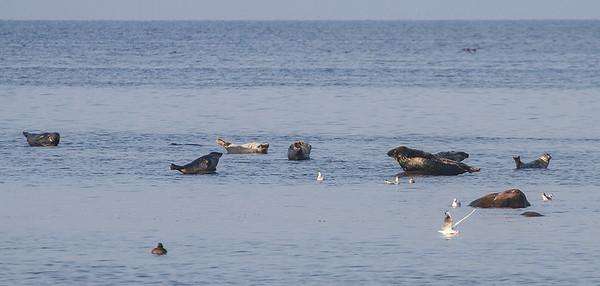 Sjøpattedyr