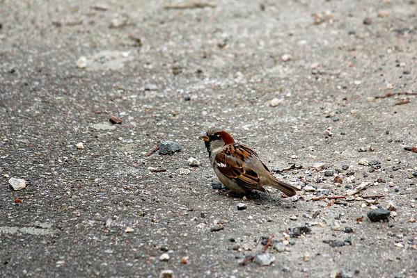 House sparrow (Swedish: Gråsparv)