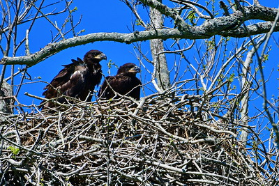 Bald Eagles:  Flight Shots, Nest and Chicks