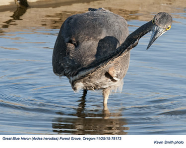 Great Blue Heron A78173.jpg